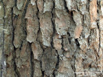 Mark's Firewood Tree Identification